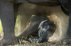 Elephants and calf, Bandhavgarh, India