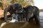 Elephants in the river, drinking, Kanha, India