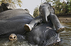 Asian elephant mother and calf bathing in the river, Kanha, India