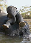 Asian elephant mother and calf resting in the river, Kanha, India