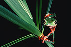 Monkey Frog, Amazon, Ecuador