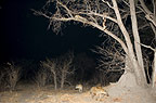 African spotted hyenas at night circling a tree with a leopard and its kill, Khwai, Botswana