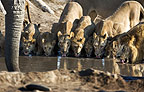 African elephant and family of lions drinking at the waterhole, Savuti, Botswana