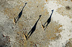 Three Giraffes casting shadows, photographed from the air, Okavango Delta, Botswana