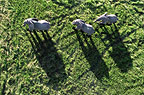 Aerial view of three African elephant casting shadows, Okavango Delta, Botswana