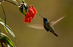 Sparkling Violet-ear hummingbird feeding while hovering in front of flower, Mindo Cloud Forest, Andes, Ecuador, South America.