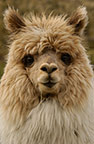 Alpaca, base of Cotopaxi Volcano, Andes, Ecuador, South America. Alpacas produce very fine wool which is used for clothing.