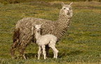 Alpaca mother and baby, base of Cotopaxi Volcano, Andes, Ecuador, South America