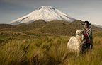 Cotopaxi Volcano (5897m), and long-haired Alpaca Suri, Cotopaxi National Park, Andes, Ecuador, South America