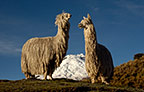 Cotopaxi Volcano (5897m) & Alpaca Suri (Long haired breed of Alpaca), Cotopaxi National Park, Andes, Ecuador, South America