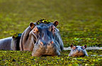 Mother and baby hippo, Okavango Delta, Botswana