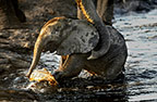 An African elephant calf being helped out of the water by his mother, Chobe, Botswana
