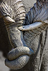 Close up of African elephants entwining trunks, Savuti, Botswana