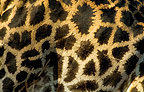 Close-up of Giraffe skin, Khwai, Botswana
