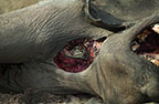 Eye of an African lion peering out from the insides a dead elephant, Savuti, Botswana