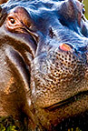 Close up of a hippopotamus, Okavango Delta, Botswana