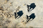 Aerial view of African elephants and shadows, Amboseli National Park, Kenya