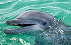 Close up of a Bottlenose Dolphin, Honduras