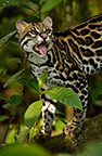 Ocelot, Amazon Rain Forest, Ecuador