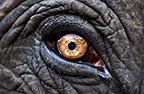 Close-up of eye of an Indian elephant, Jaipur, India