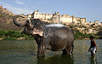 Elephant with mahout bathing in the river below the Amber Fort, Jaipur, India