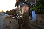 Domesticated Indian elephant being washed by owner, Jaipur, India