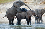 African elephants mating, Chobe river, Botswana.