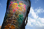 Close-up of the trunk of a painted elephant, Jaipur festival, India.