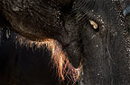 Close-up of mouth and trunk of Indian Elephant.