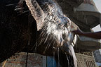 Indian elephant being washed by his owner, Jaipur, India