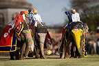 Elephants and mahouts playing a game of polo, Jaipur festival, India