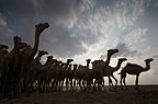 Arabian Camel s belonging to the Gabbra tribe, walking at sunrise, Chalbi desert, Northern Kenya, Africa