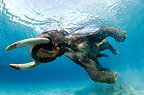Indian elephant swimming underwater, India