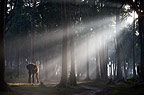 Indian elephant in the forest with early morning mist, India