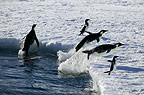 Three Emperor and two Adelie penguins leaping onto ice, Cape Washington, Antarctica