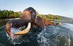 Elephant playing in the water, India