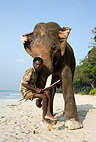 Mahout sitting on the tusks of his elephant, India