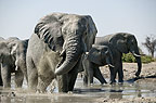 African elephant at waterhole, Savute, Botswana