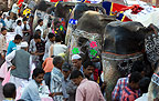 Elephants lined up amid crowds at the elephant festival, Jaipur, India