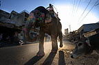 Elephant, decorated for the festival, moving through streets, Jaipur India.