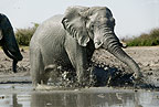 African elephants at waterhole, Savute, Botswana