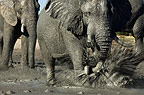 African elephants at waterhole, Savute, Botswana.