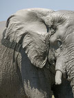 Close up of African elephant's head, Savute, Botswana