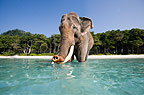 Indian elephant standing in the sea, India