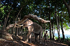 Indian elephant lifting tree trunk, Andamans, India