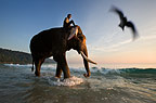 Mahout riding on Indian elephant on the beach at dusk, Andamans, India