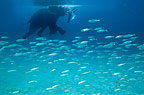 Elephant swimming with shoal of fish, Andaman Sea, India.