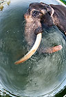 Elephant bathing, Andamans, India