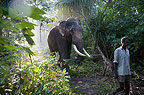 Elephant walking in forest with Mahout, Andamans, India