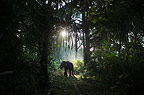 Indian elephant in the forest in early morning, Andamans, India